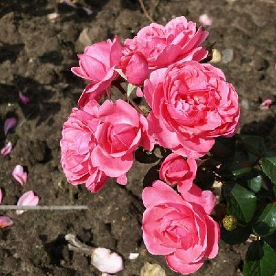 Роза штамбовая Берлебург
