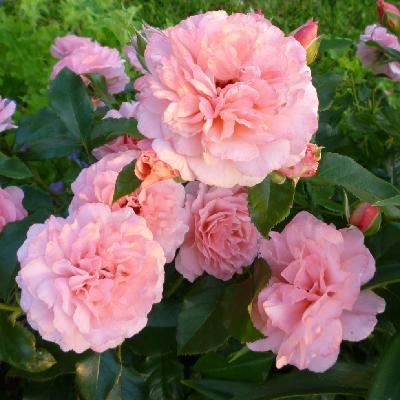 Роза штамбовая Ботичелли