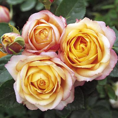 Роза штамбовая Бэби романтика