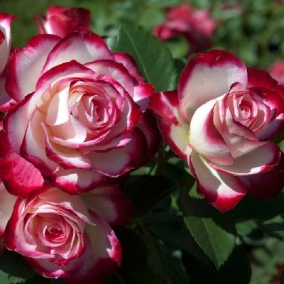 Роза штамбовая Жюбиле дю Принц де Монако