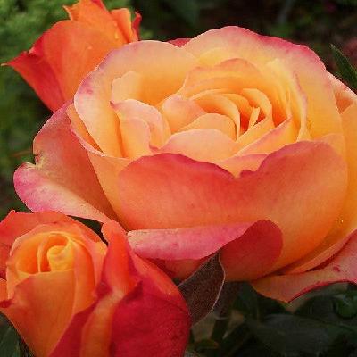 Роза штамбовая Ибица