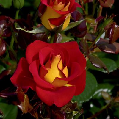 Роза штамбовая Кетчуп Мастад