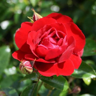 Роза штамбовая Майнауфойер