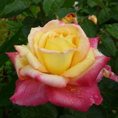 Роза штамбовая Пульман Ориент Экспресс
