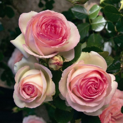 Роза штамбовая Пьер де Ронсар