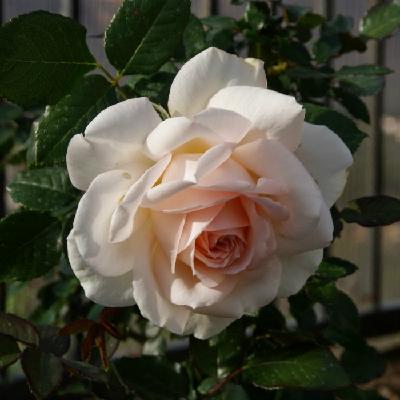 Роза штамбовая Свит Лав
