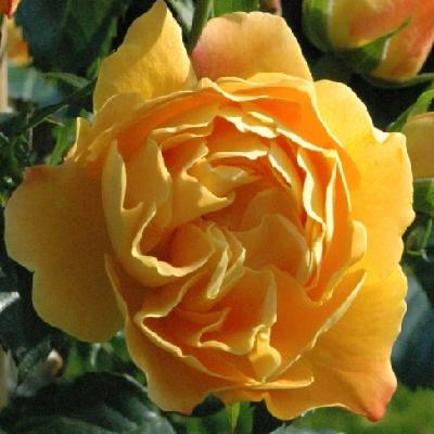 Роза штамбовая Селенсе де Фронтиньян
