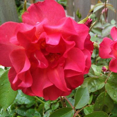 Роза штамбовая Синко де Майо