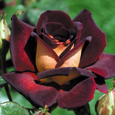 Роза штамбовая Эдди Митчел