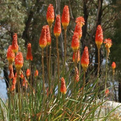 Книфофия ягодная Грандифлора