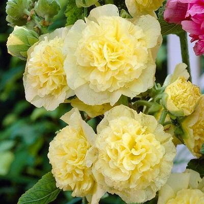 Мальва розовая Пленифлора Жун