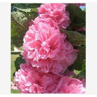 Мальва розовая Пленифлора Роуз