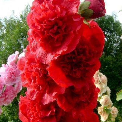Мальва розовая Пленифлора Руж