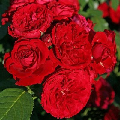 Роза парковая Красная шапочка