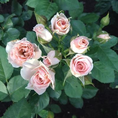 Роза спрей Розовый спрей