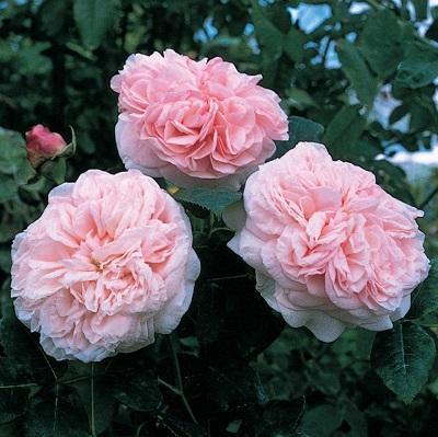 Роза английская Клер Роуз