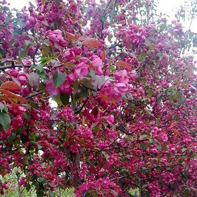 Яблоня колонновидная крастнолистная Розовая сказка