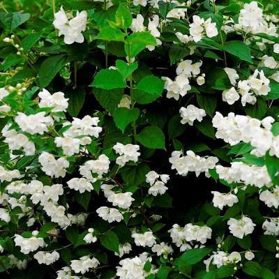 Жасмин садовый Помпон