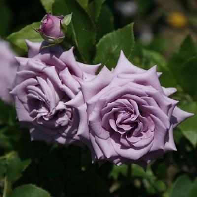 Роза плетистая Клайминг Индиголетта