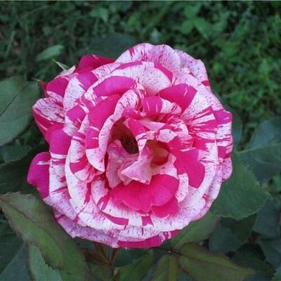 Роза миниатюрная Пикси Гауди