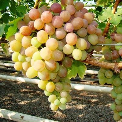 Виноград плодовый Виорика