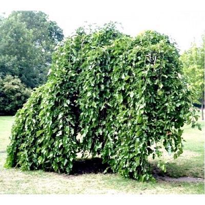 Шелковица черная Пендула