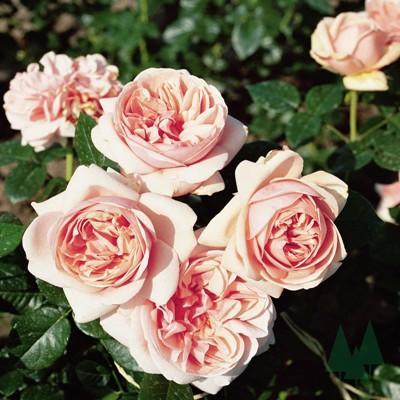 Роза чайно-гибридная Афродита