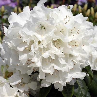 Рододендрон гибридный Дора Аматис
