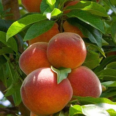 Персик Сувенир