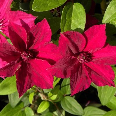 Клематис крупноцветковый Перида