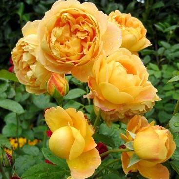 Роза парковая Голд оф Кингс