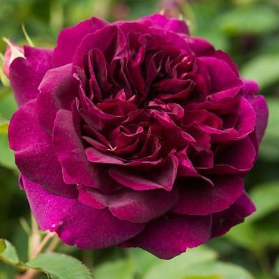 Роза парковая Манте де Велюр