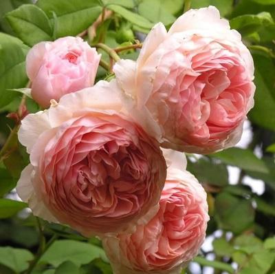 Роза парковая Принцесс Шарм
