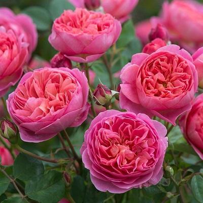 Роза парковая Шарм де Ботэ