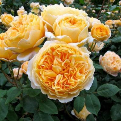 Роза английская парковая Беатрис