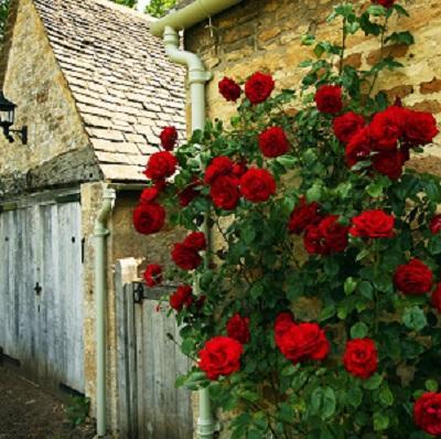 Роза плетистая Черный Букет