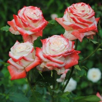 Роза чайно-гибридная Императрица Фара