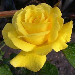 Роза флорибунда Голден Веддинг