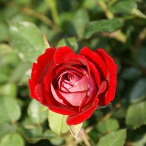 Роза миниатюрная Майди