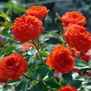 Роза миниатюрная Ориндж Бэбифлор