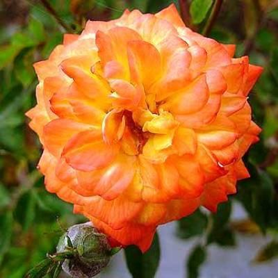 Роза миниатюрная Санмейд