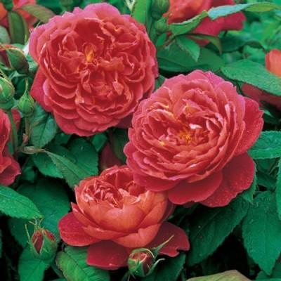 Роза английская парковая Бенжамин Бриттен