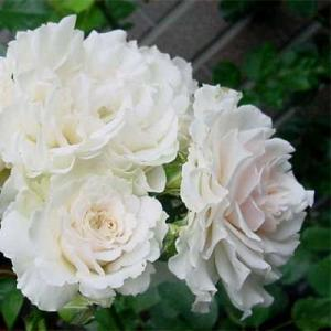 Роза английская парковая Сир Гэлахад