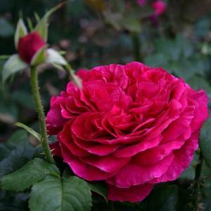 Роза парковая английская Фишерманс Френд