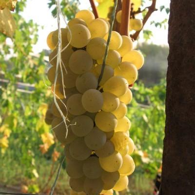 Виноград плодовый Солярис