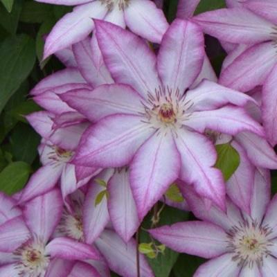 Клематис крупноцветковый Тай