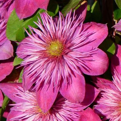 Клематис крупноцветковый Кайзер