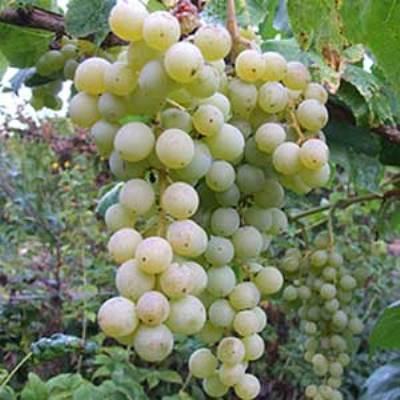 Виноград плодовый Химрод