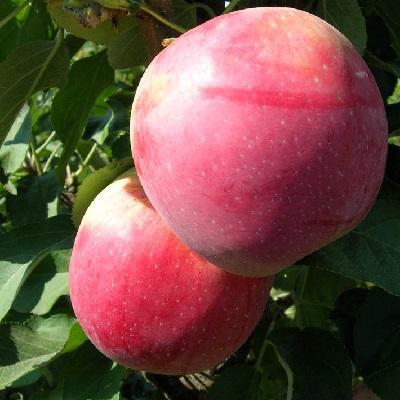 Яблоня колонновидная Трайдент