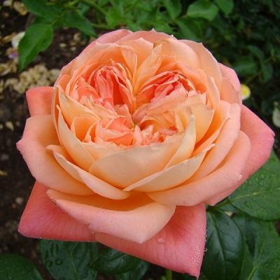 Роза чайно-гибридная Квин оф Бермуда